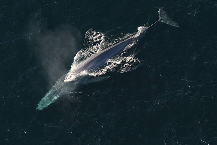 A blue whale. Image credit: NOAA Photo Library